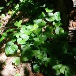 Edible and Medicinal Plants: Wild Ginger