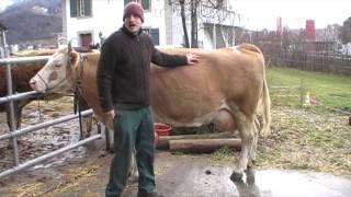 Metzgergriffe bei einer Kuh