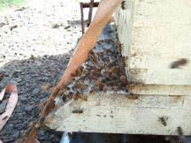 Bees fanning furiously