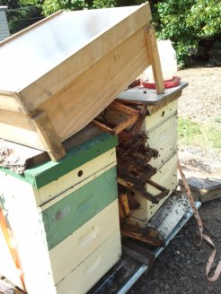 Solar wax melter perched atop hive bodies filled with frames to process.