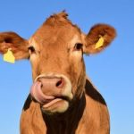 cow-1715829_640