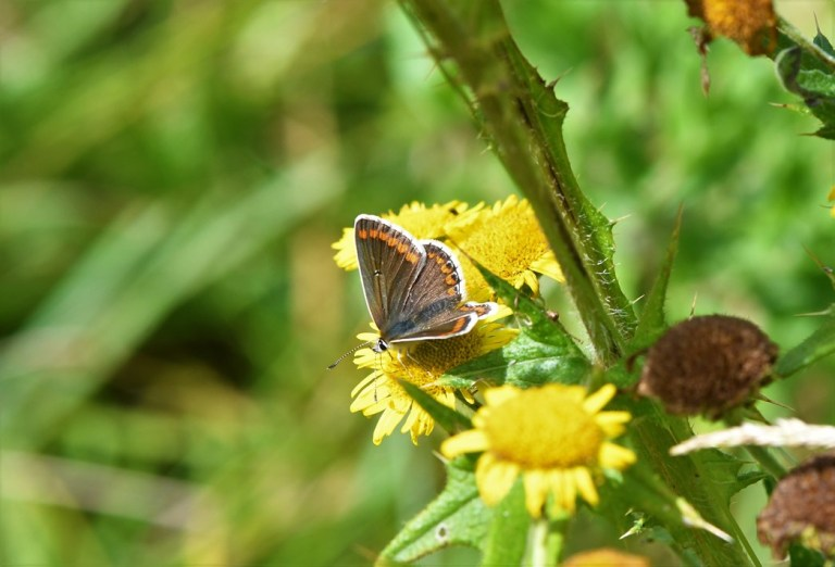 Brown Argus Female Butterfly