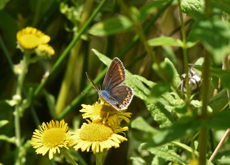 Common Blue Female Butterfly
