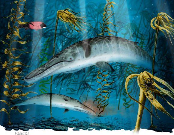 Ilustrasi Herpetocetus morrowi yang hidup pada akhir era Pliocene. Kredit: Robert Boessenecker.
