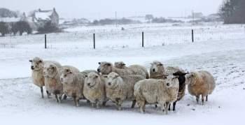Sheep in Winter