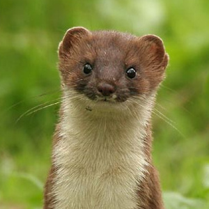 Image result for weasels pictures