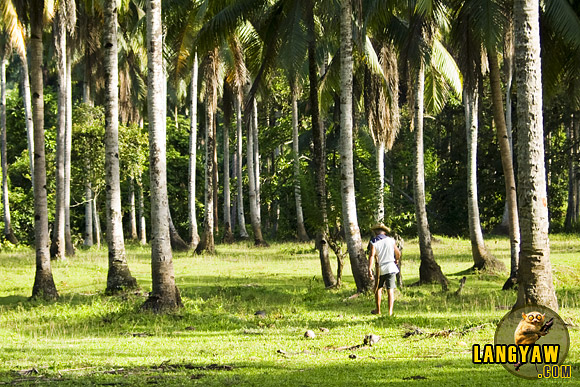 A coconut grove near a field in Baganga, Davao Oriental