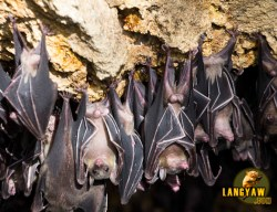 Bats at Samal's bat sanctuary. Samal Island, Davao del Norte. CLICK TO ENLARGE