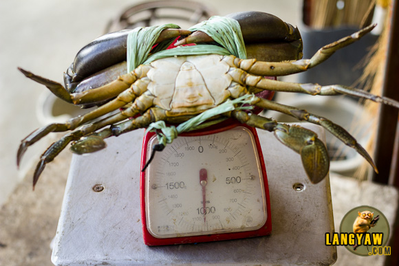 A really big crab tipping the scales at 1 kilo! It's worth almost a thousand pesos.
