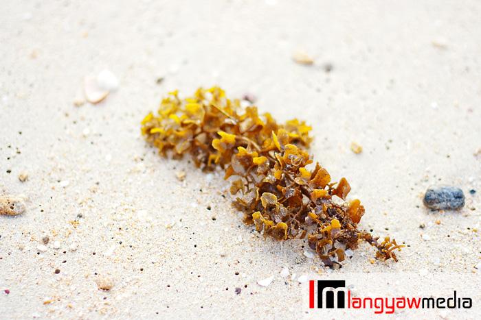 A seaweed cast ashore