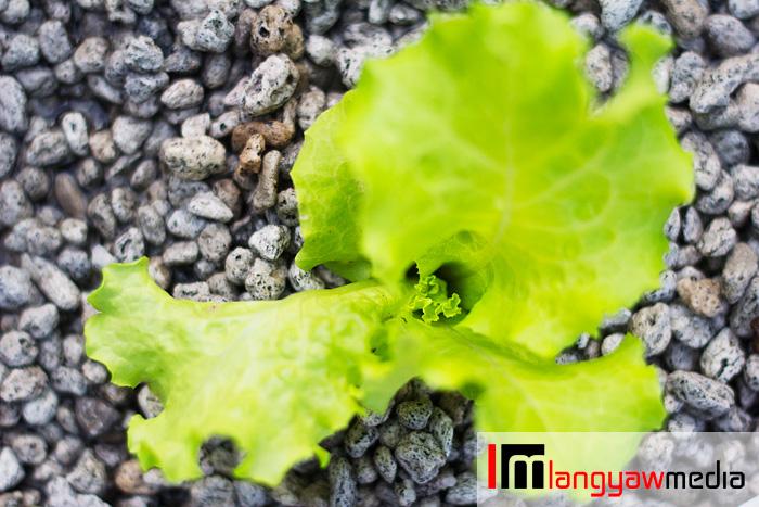 Top view of lettuce in aquaponics plot