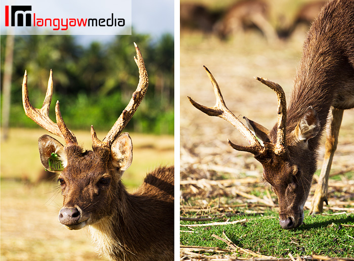 Stag with fully developed antlers