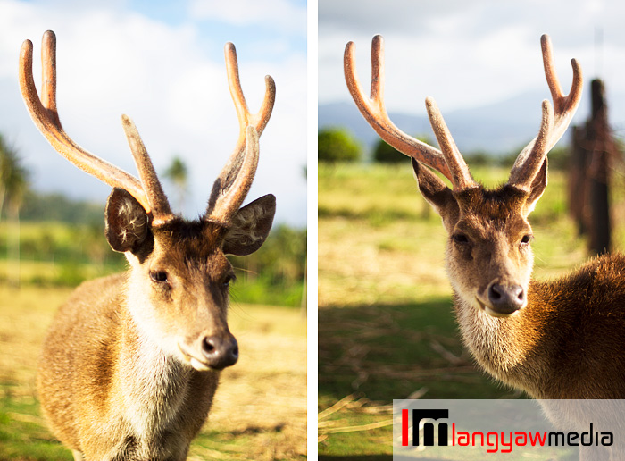 Stag with immature antlers still covered with velvety skin