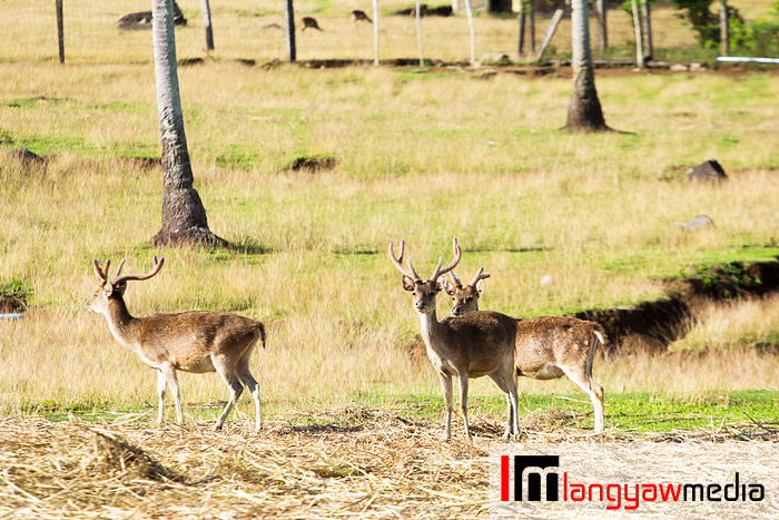 Does, stags and fawn at the farm
