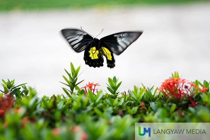 A birdwing butterfly flutters at the house garden