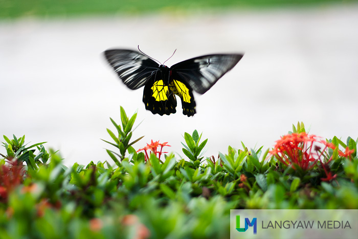 A birdwing butterfly flutters at the house garden