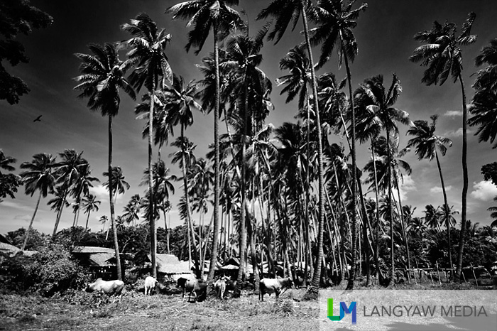 Livestock grazing under coconut trees
