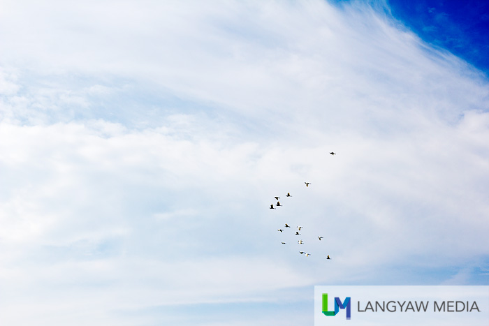 A flock of birds flying west in the afternoon