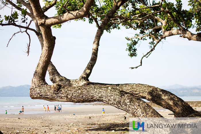 This tree bends towards the beach