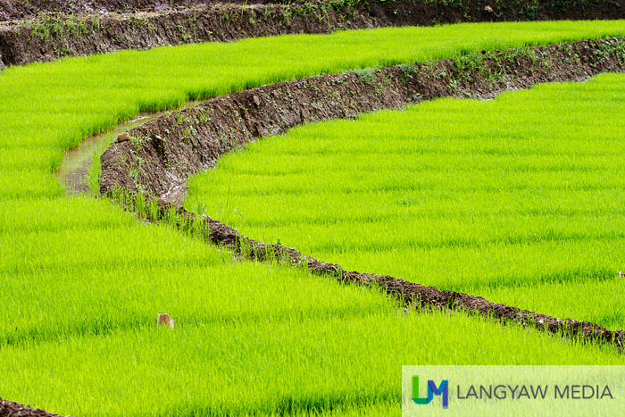 Rice terraces and seedlings ready for planting