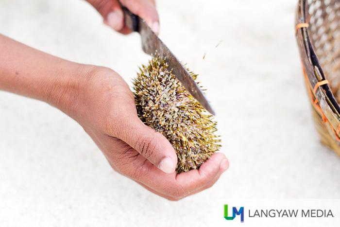 Cutting  crosswise the sea urchin