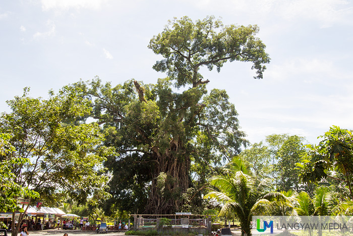 The balete tree as seen from afar