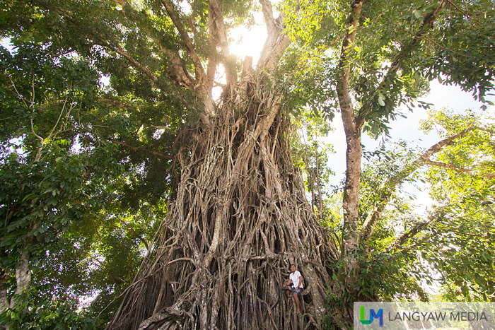 The blogger Dennis (Love Mindanao) gives scale to the sheer size of this tree