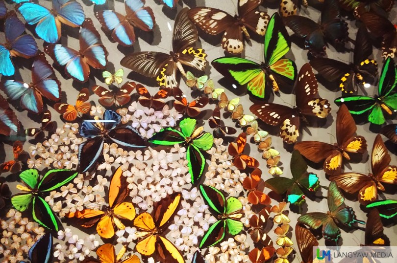 More groupings of different species and different sizes of butterflies from all around the world