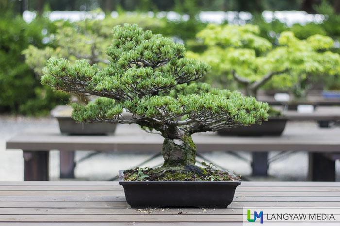 A bonsai at the bonsai area of the garden