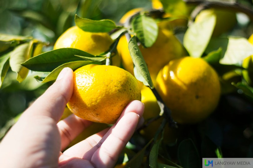 Picking or harvesting fruits with friends and family is actually fun and depending on the time of the year, you can have different kind of fruits for picking.