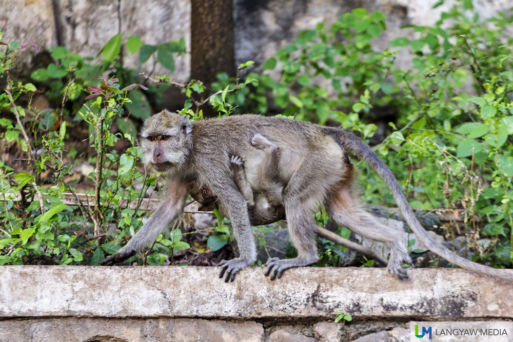 A macaque with her infant scurrying around. These monkeys are a common sight in the national park.
