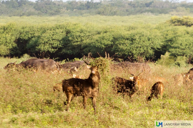 Indian muntjac stags and doe with a herd of bantengs