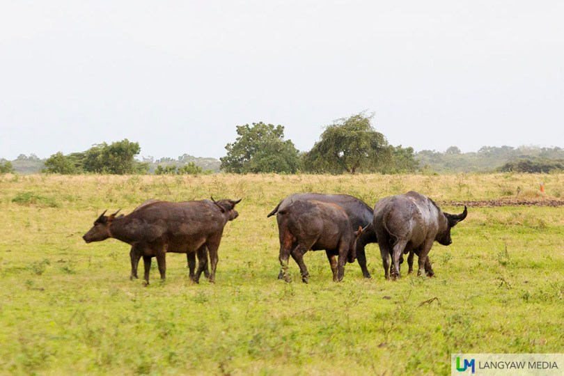 A herd of wild bantengs, a type of Asian buffalo