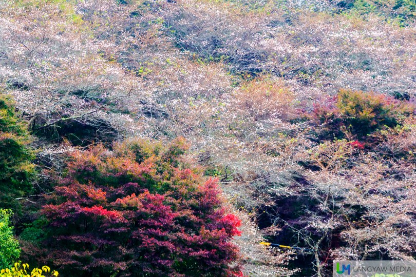 A mountain filled with cherry trees in bloom with autumn foliage
