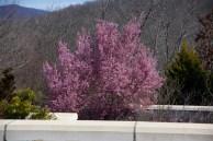Arboretum - cherry tree blooming