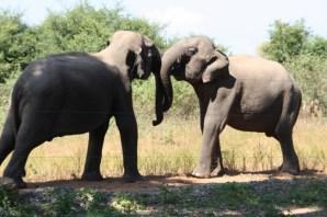 Young elephants play fighting, Uda Walawe