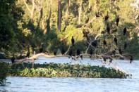 Flight of cormorants