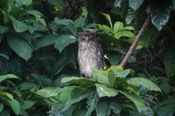Brown Fish Owl next to the Walawe Ganga