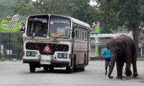This young elephant was in a hurry to catch the bus, Colombo