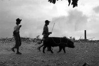 Men walking their pig, Pindiya