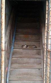Cat on stairs, Yangon