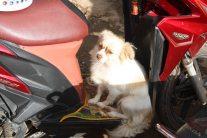 Dog on a motorbik, Kyauk Me