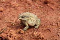 Toad, Pindiya