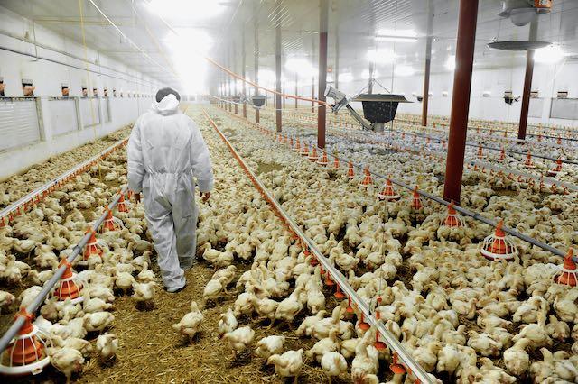 Sacrifican 1.5 millones de pollos en Carolina del Norte