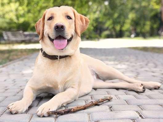 Labrador retriever perro amigable