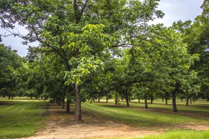 El histórico parque del condado de Oak View ofrece recolección de nueces para la familia