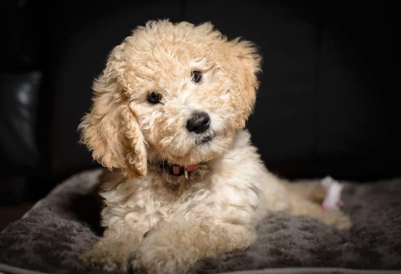 caniche-toy-el-perro-mas-amoroso-y-obediente-que-puedes-tener-en-casa