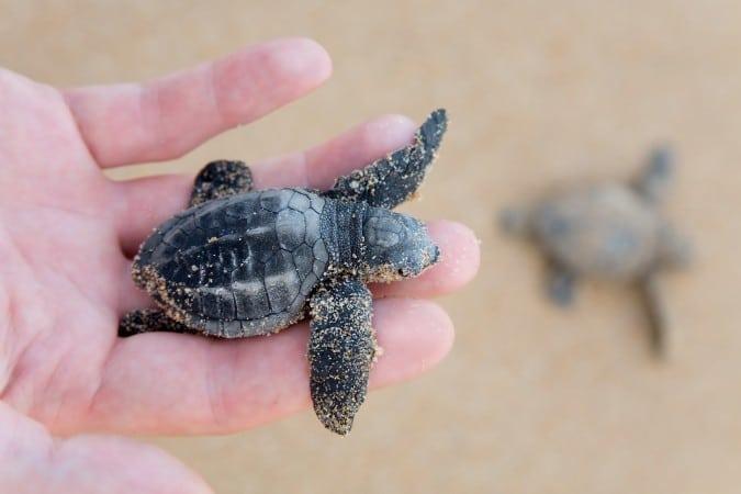 Ayude a nombrar dos tortugas bebé en el Acuario de Carolina del Norte en Fort Fisher