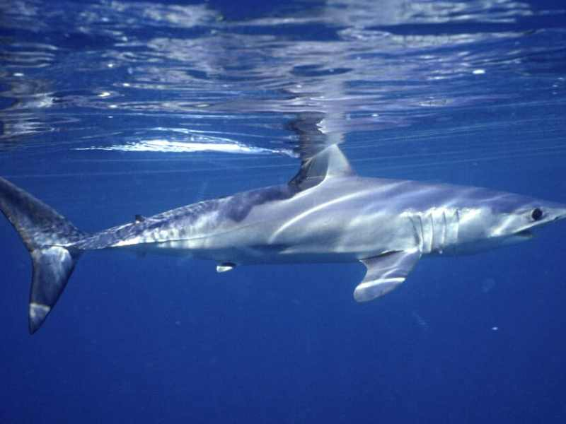 En 70% se redujo población de tiburones y rayas
