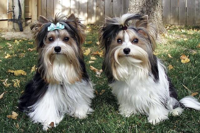 Conoce al Biewer Terrier: la nueva raza canina reconocida en E.U.